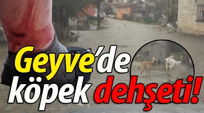Geyve'de köpek dehşeti!