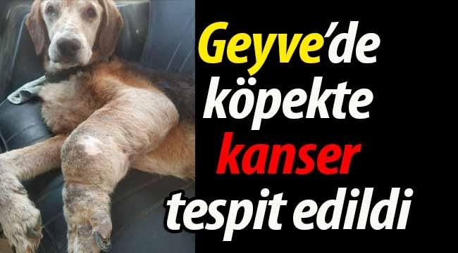 Geyve'de yaşayan köpekte kanser tespit edildi
