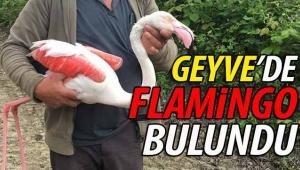 Geyve Kamışlı'da flamingo bulundu