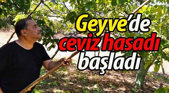 Geyve'de ceviz hasadı başladı