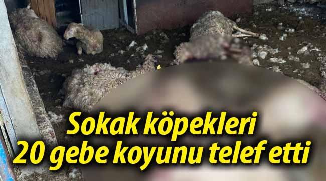 Sokak köpekleri 20 gebe koyunu telef etti