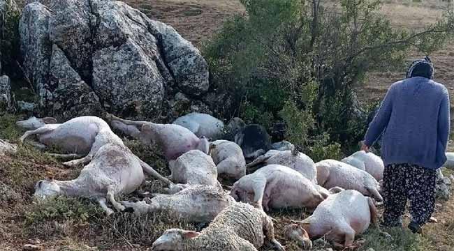 Yıldırım düştü 23 koyun telef oldu